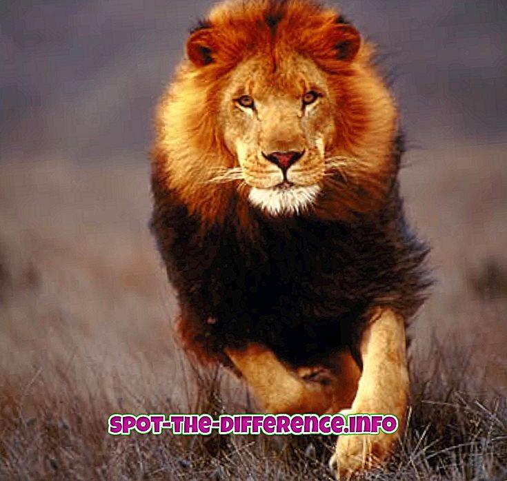 vahe: Lioni ja tiigri erinevus