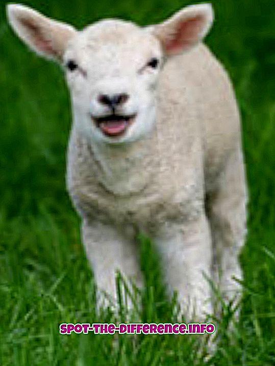 Unterschied zwischen: Unterschied zwischen Hammelfleisch und Lammfleisch