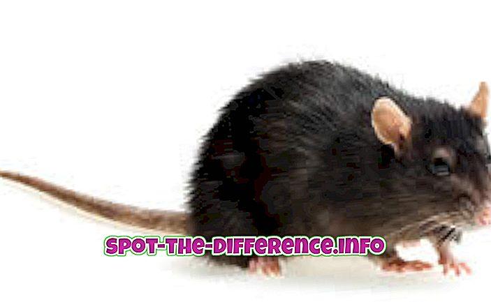 rozdíl mezi: Rozdíl mezi krysy a myší