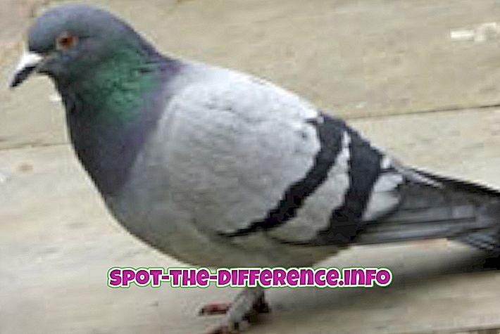 vahe: Erinevus Pigeoni ja Kajakas vahel