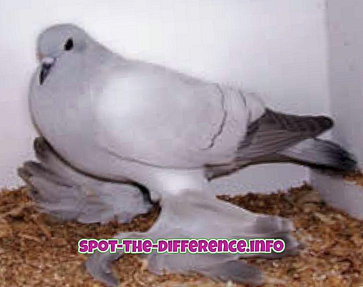 różnica pomiędzy: Różnica między gołębiem a gołąbkiem