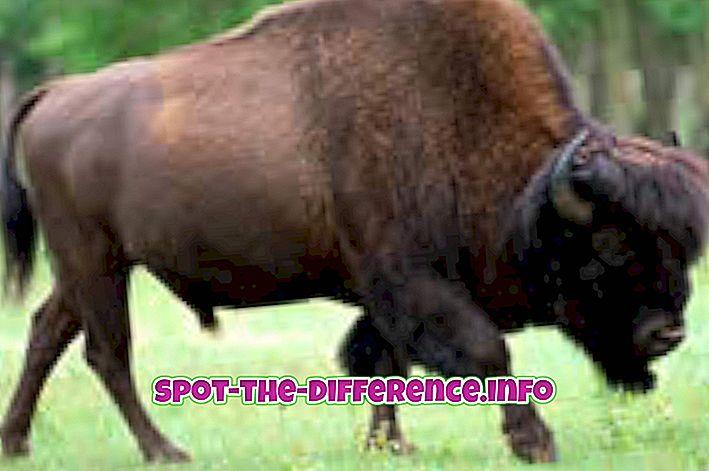 forskjell mellom: Forskjell mellom Bison og afrikansk Buffalo