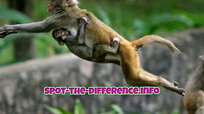 Perbedaan antara Monyet dan Simpanse