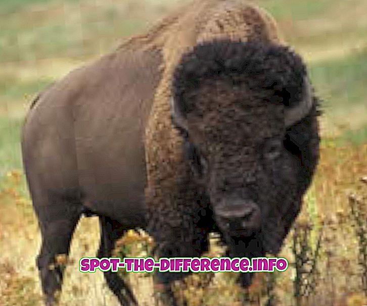 Різниця між бізоном і водним буйволом