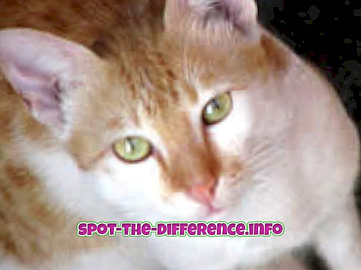 perbedaan antara: Perbedaan Antara Kucing dan Kucing