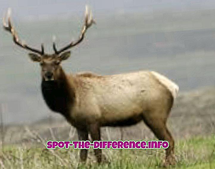 Elk és Caribou közötti különbség