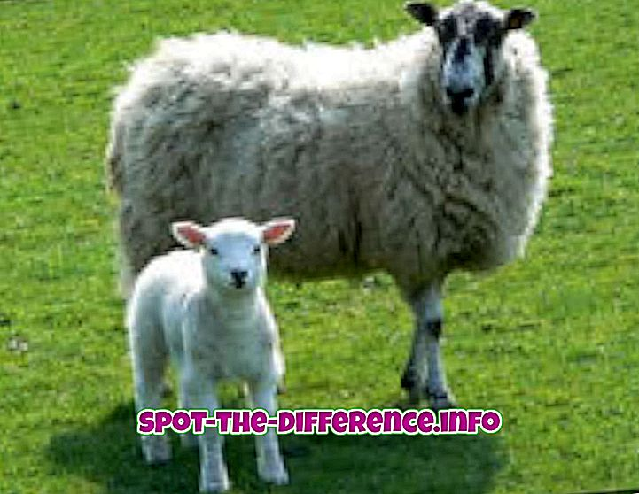 verschil tussen: Verschil tussen lammeren en schapen