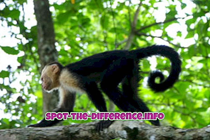 vahe: Monkey ja Gorilla vaheline erinevus