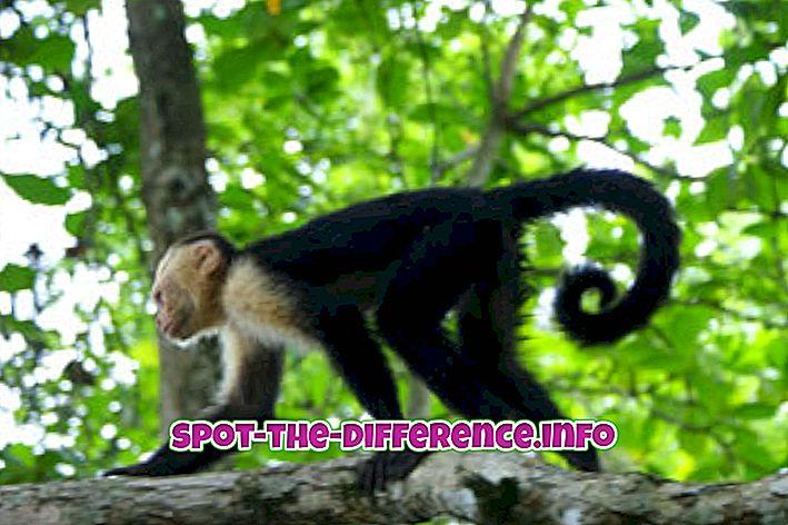 Rozdiel medzi Monkey a Gorila