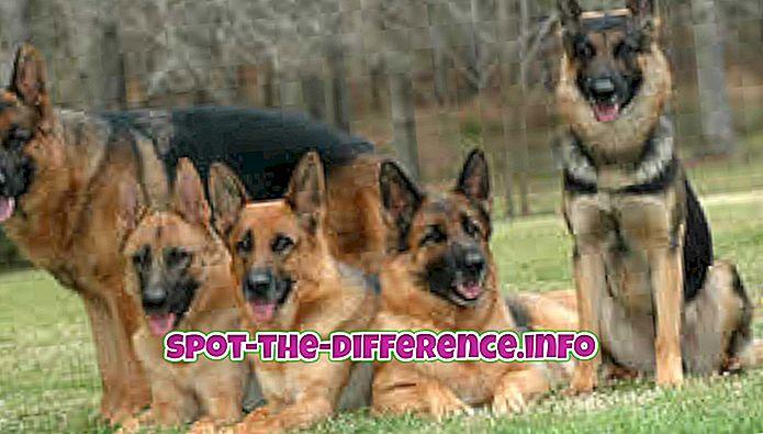 Atšķirība starp vācu aitu un Dobermanu
