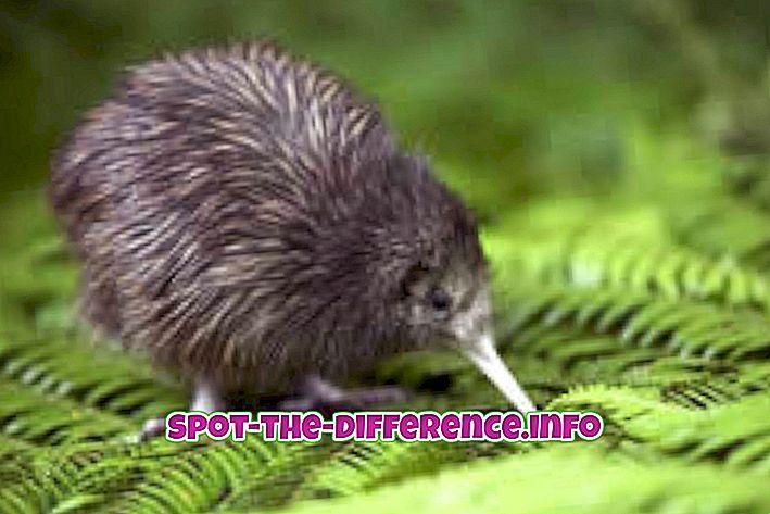 popularne porównania: Różnica między kiwi a pingwinem
