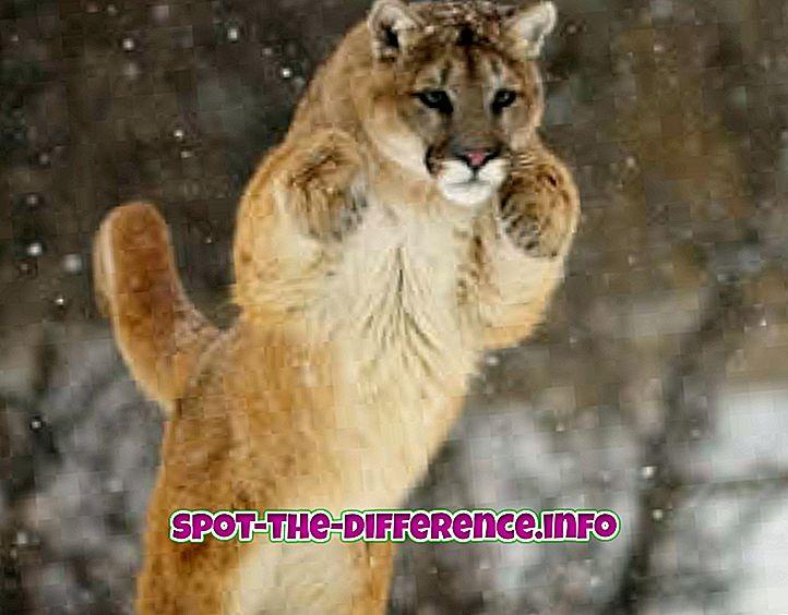 Różnica między Puma i Gepardem