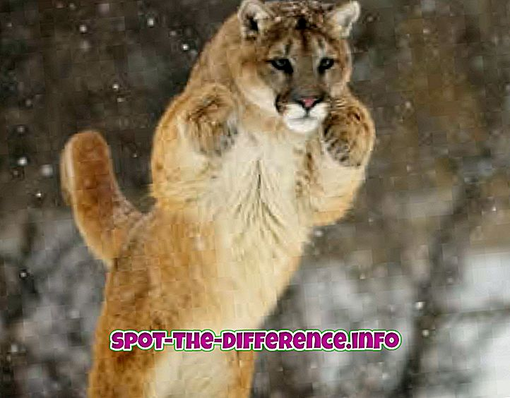 Rozdiel medzi Puma a gepard