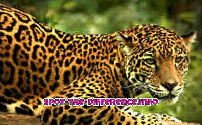 Rozdíl mezi Jaguar a Panther