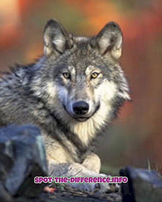 populárne porovnania: Rozdiel medzi vlkom a šakalom