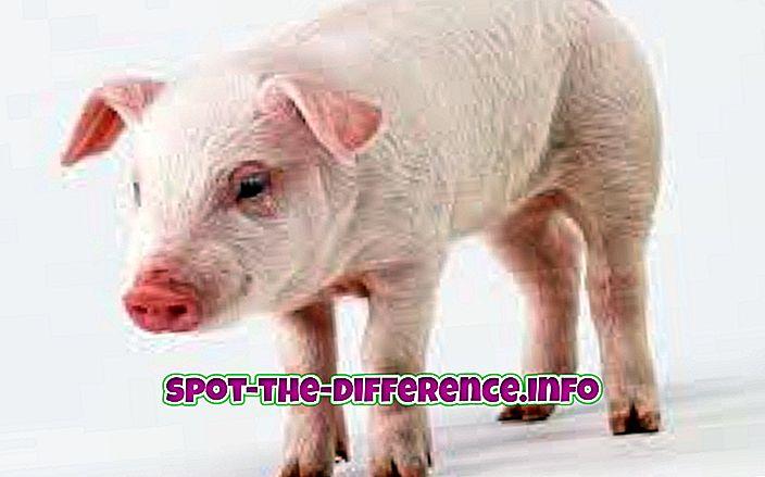 การเปรียบเทียบความนิยม: ความแตกต่างระหว่างหมูกับหมู
