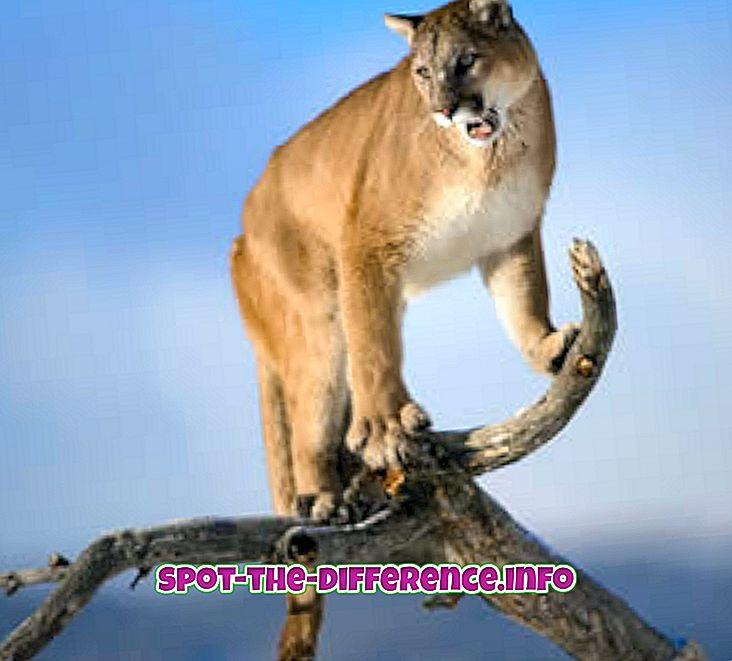 δημοφιλείς συγκρίσεις: Διαφορά μεταξύ Puma και Panther