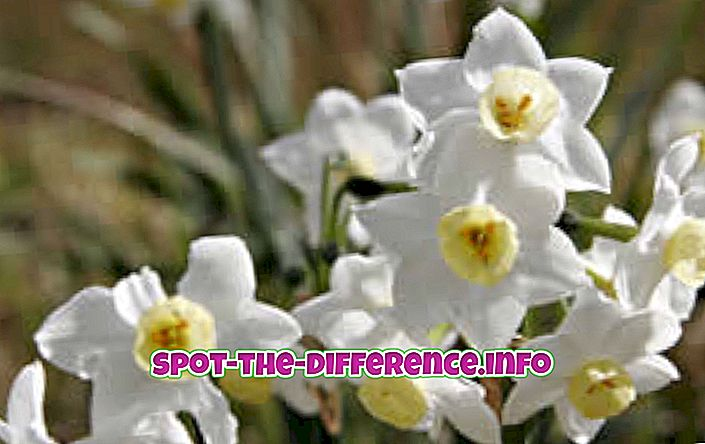 Differenza tra Jonquil e Daffodil