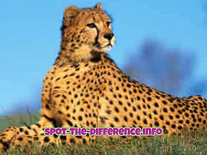 การเปรียบเทียบความนิยม: ความแตกต่างระหว่างเสือชีต้ากับเสือ