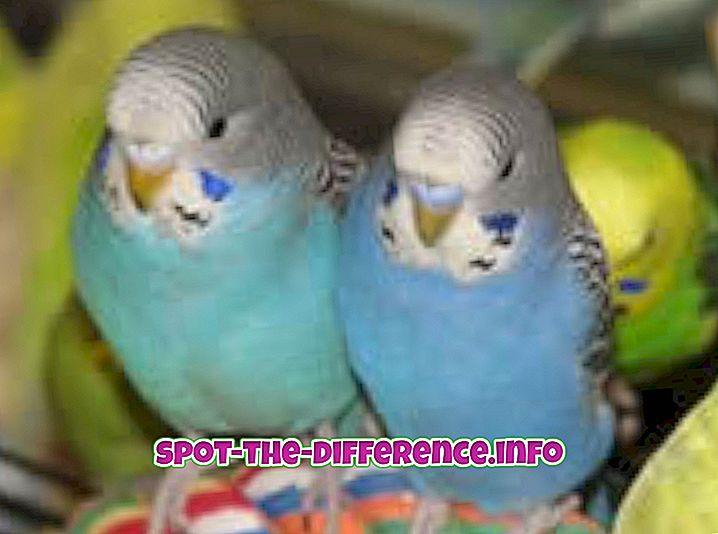 Parakeetien ja Lorikeetsin välinen ero