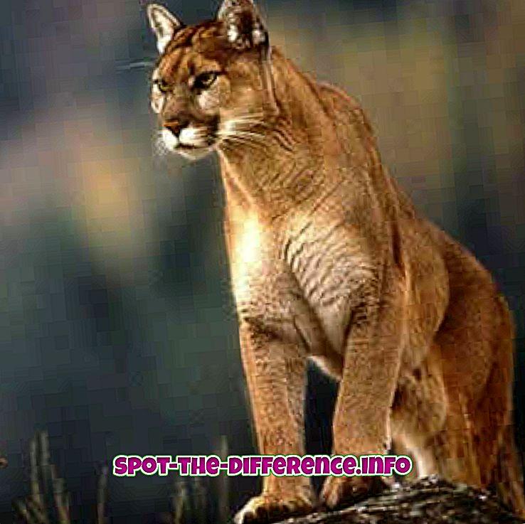 Forskjell mellom Puma og Jaguar