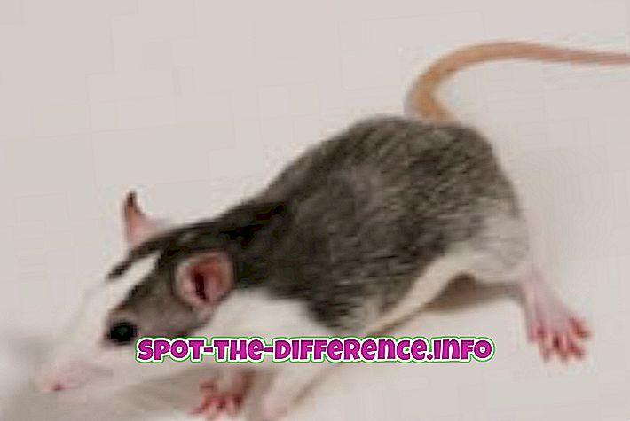 beliebte Vergleiche: Unterschied zwischen Mäusen und Ratten