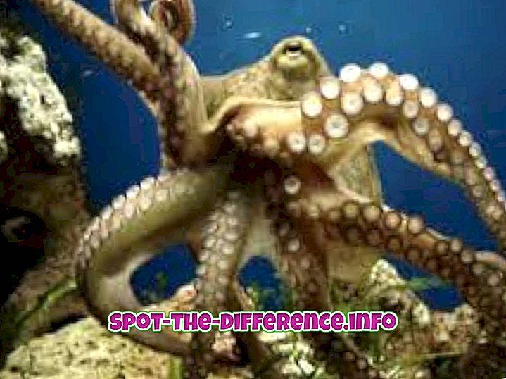 Rozdiel medzi Octopus a Squid