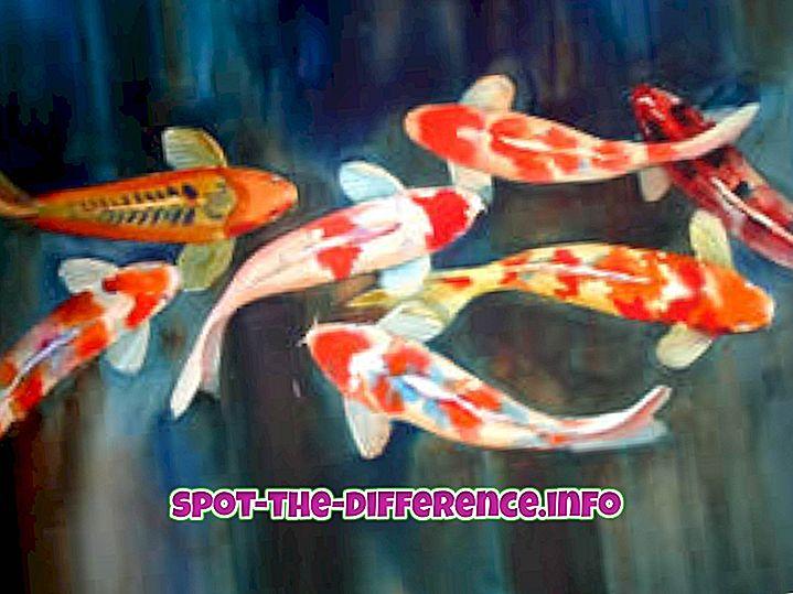 популарна поређења: Разлика између златне рибице и кои