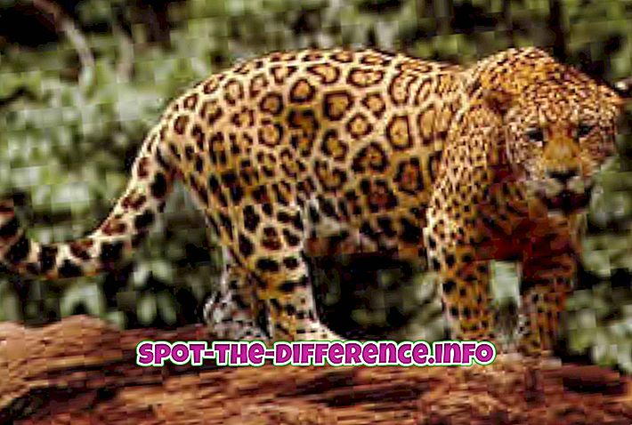 Rozdiel medzi Jaguarom a Tigerom