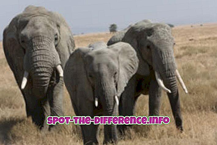 Rozdiel medzi slonom a mamutom