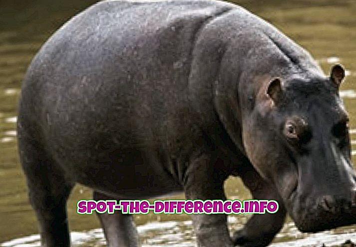 popularne porównania: Różnica między hipopotamem a nosorożcem