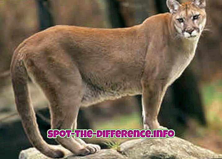 Różnica między Puma i Leopard