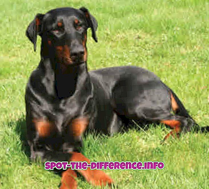 ความแตกต่างระหว่าง Doberman และ Rottweiler