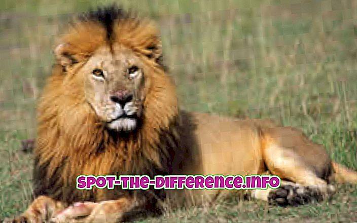 Diferença entre Leão e Leopardo