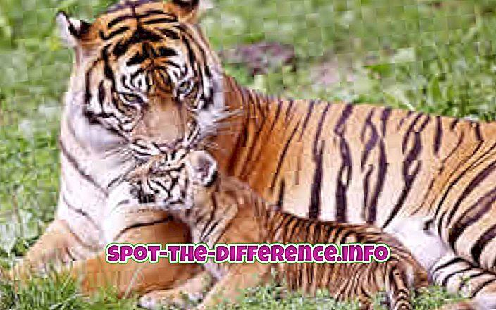 comparații populare: Diferența dintre Tiger și Leopard
