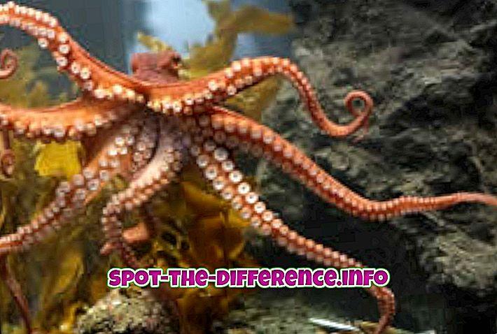 populære sammenligninger: Forskjell mellom blekksprut og maneter