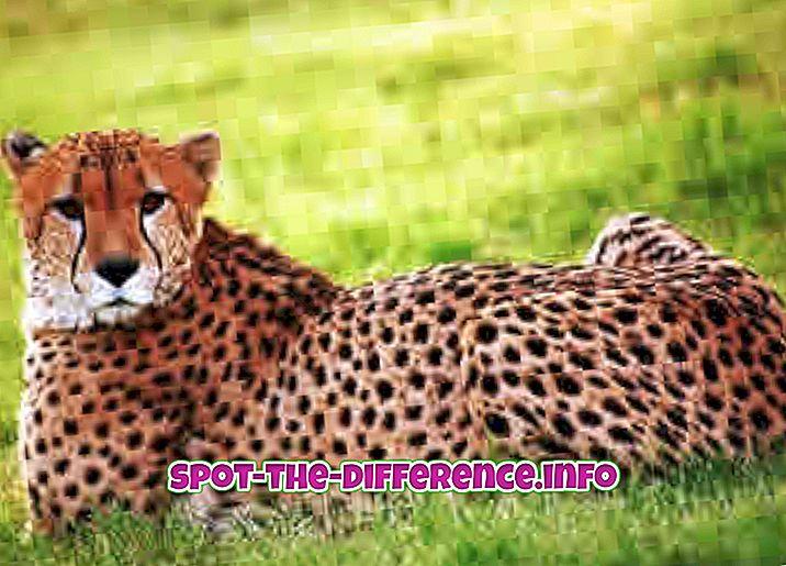 Unterschied zwischen Gepard und Jaguar
