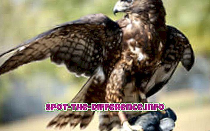 comparații populare: Diferența dintre Hawk și Falcon