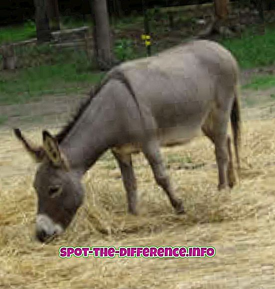 beliebte Vergleiche: Unterschied zwischen Maultier und Esel