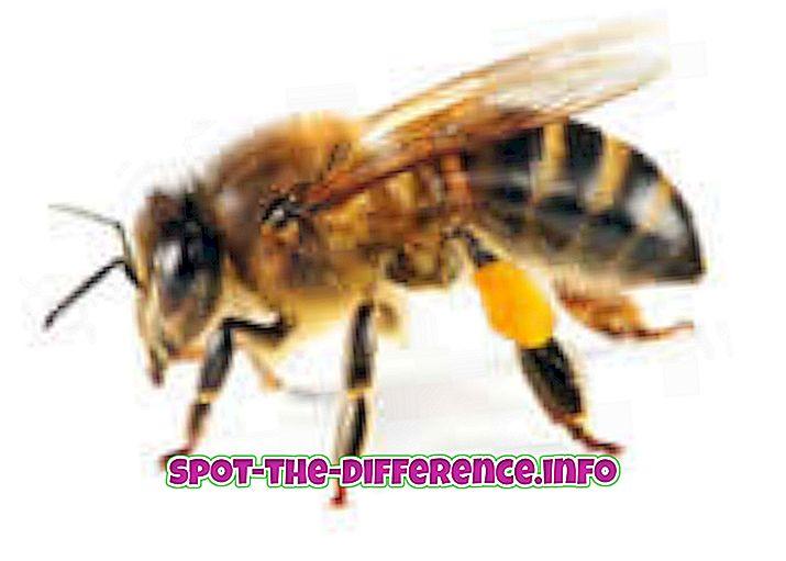 Rozdiel medzi včelami a čmeliakmi