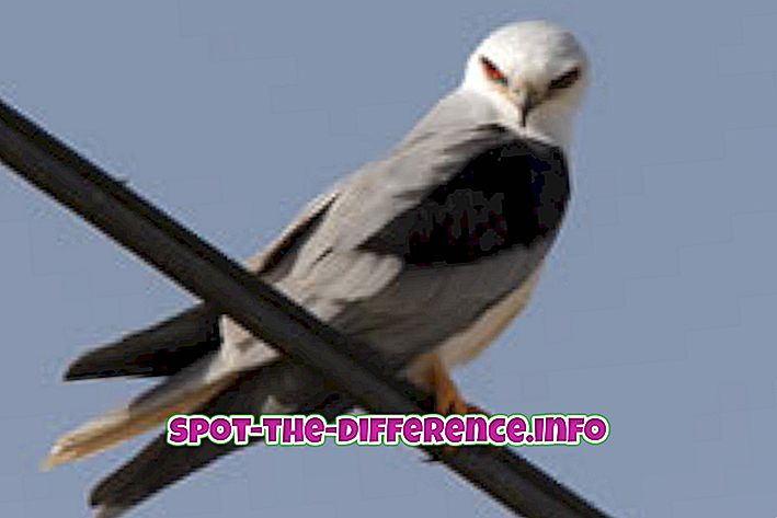 Starpība starp Kite un Eagle