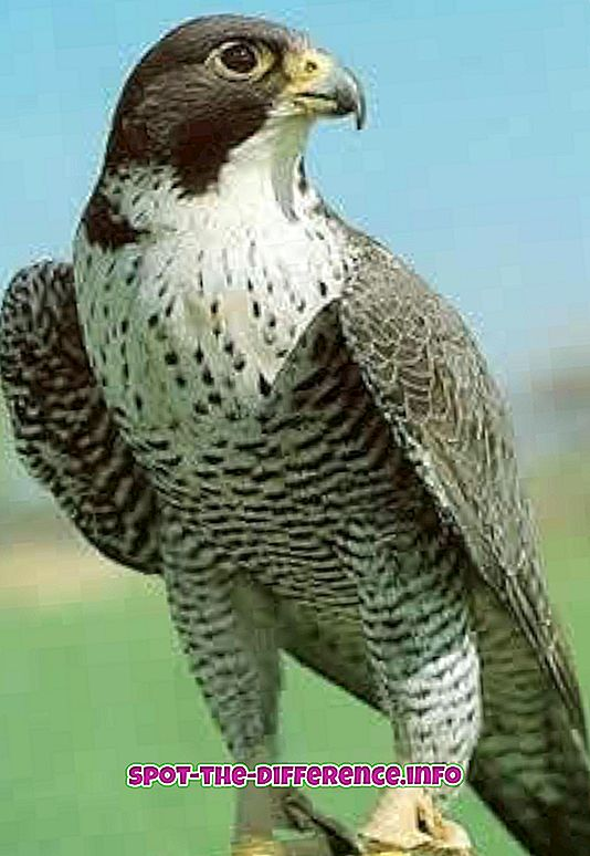 comparații populare: Diferența dintre Falcon și Vultur